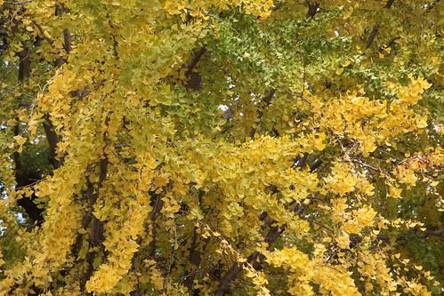 大イチョウも黄葉