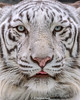 Sky ♂ - Handsome Blue Eyes (Harimau Kayu (AKA Sumatra-Tiger)) Tags: sky tiger zoo animal bigcat bigcats feline bengaltiger pantheratigristigris königstiger indischertiger eltigredebengala tigredubengale latigrerealedelbengala бенгальскийтигр 孟加拉虎 whitetiger weisertiger tigreblanco tigreblancroyal белыйтигр 孟加拉白虎 zooshot tobu tobuzoo snowwhite sunbathing canada playful playfulcat playfultiger playfulwhitetiger bengal sex blueeyes curiosity