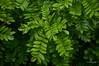 Happy New Year! (henriiqueprado) Tags: nikond3200 green leaf nature natureza tree arvore piracicaba happynewyear welcome2017 expressyourself