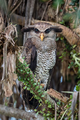 Barred Eagle-owl (BP Chua) Tags: bird nature wildlife wild owl eagleowl barred male perch animal photography nikon 600mm d750 telephoto palmresort allnaturesparadise