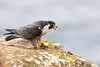 Eating a Meal on the Edge (Patricia Ware) Tags: california canon ef400mmf4doisiiusmlens falcoperegrinus handheld pacificocean palosverdes peregrinefalcon httppwarezenfoliocom ©2016patriciawareallrightsreserved ranchopalosverdes unitedstates us specanimal