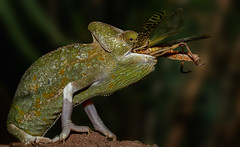 Eiweiß pur (ellen-ow) Tags: fressen heuschrecke insekten makro reptilien terrazoorheinberg gliederflüser chamäleon tier nikond4 ellenow