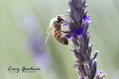 Bees (LucygoodwinPhotography) Tags: bee lavendar macro canon purple flower plant strips yellow black