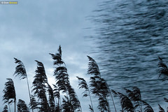 Starling reedbed roost II (Dom Greves) Tags: behaviour bird dorset flock january murmuration pooleharbour purbeck reedbed starling studland uk wetland wildlife winter