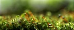 Macro Mondays - Redux 2016 - My favorite theme of the year, It's Alive! (eleni m) Tags: macromondays hmm itsalive moss outdoor redux 2016 myfavoritethemeoftheyear