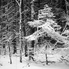Winter in the forest (yury shulhevich) Tags: winter winterforest snow snowyday walkintheforest anothergreatview siglentmoment pentaconsix neopan400 1600 80f28 blackandwhite film coolscan8000 selfdeveloped fujineopan mf mediumformat belarus belarusiannature beautifulmoment