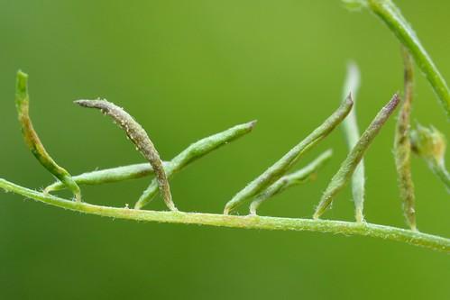 Aceria trifolii on Vicia hirsuta