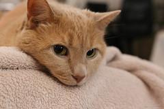 Cupcake Kitty Morning Face (Soapbox Girl (Carol Anne)) Tags: cat cats kitty feline felines brownkitty browncat pet pets animal 6d canon6d