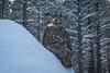 Cold (Jon David Nelson) Tags: greathornedowl bubovirginianus owls raptors birdsofprey education centraloregon highdesert conservation odfw usfws