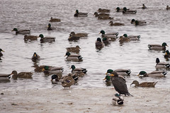 Cormorant on Ice (maryalicephotos) Tags: lakewinnebago december2016 ducks wisconsinducks waterfowl lakesidepark fonddulac frozenlake