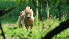 A blonde chestnut on the forest glade. (Klaus • infrequently online •) Tags: pferd horse cavallo caballo cheval घोड़ा paard cavalo 馬 лошадь capall häst hevonen άλογο hest حصان kuda коњ koń ngựa סוס hestur konj кон kůň cal arklys ձի zirgs ม้า kôň ló perd коня اسب farasi 말 fohlen foal vieh livestock bestiame ganado lélevage पशुधन vee pecuária 家畜 домашнийскот beostoic boskap karja çiftlikhayvanları κτηνοτροφία husdyr 牲畜 ماشية ternakan стока zwierząt chănnuôigiasúc בעליחיים búfé živino peternakan stoka добитък torfmauke emsland niedersachsen deutschland canon germany