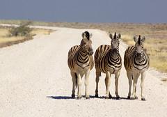 DSC09532 - NAMIBIA 2013 (HerryB) Tags: namibia afrika südafrika südwest afrique africa 2013 sony 77 dslr tamron sigma alpha bechen heribert fotos photos flickr photography herryb heribertbechen reise safari rundreise toyota hilux südwestafrika outdoor aoba etosha lodge onguma wildlife sanctuary schutzgebiet parc park nationalpark