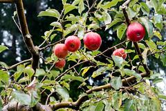 蘋果 (jeffplay) Tags: 蘋果 梨山 褔壽山 農場 褔壽 山 楓葉