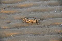 anche lui prende il sole - Senigallia (walterino1962 / sempre nomadi) Tags: animale crostaceo granchio sabbia luci ombre riflessi senigallia ancona