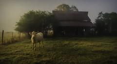 Lone Cow (dbs1953) Tags: barn fog cow grass fence morning arkansas rural ruralamerica