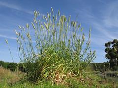 Phalaris aquatica plant7 CWS