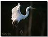 Great Egret (Betty Vlasiu) Tags: great egret ardea alba wildlife nature bird chincoteague island