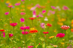 Zinnia Garden.. (zoomclic) Tags: canon closeup colorful flower foliage flowers red green garden orange outdoors yellow dof dreamy bokeh zinnia rose bud blossom 7d ef100400mmf4556lisusm nature zoomclicphotography bright