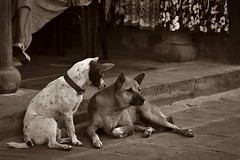 ¿Por qué no me contestas? ¿Acaso pasas de mí? (Egg2704) Tags: perro perros dog dogs pet pets mascota mascotas animal animales naturaleza naturalia sepia egg2704 vietnam