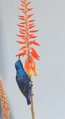 Happy New Year (iNeeraj) Tags: happynewyear newyear2017 2017 sunbird purplesunbird songbird phulsoongni durgatuntuni jhamblasinjiri chumka neerajnema canonphotography canon60d tamronlenses tamron150600 gurgaon indianbirds india birdsofindia