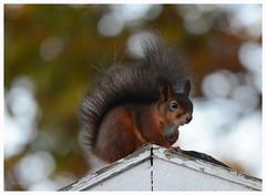 Is it me you're looking at?? (G.Claesson) Tags: ekorre squirrel eichhörnchen höst autumn ridge takås tak roof decke bokeh