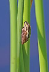 Tiny Green Frog 036 (DMT@YLOR) Tags: amphibian frog little green pond reed cling stuck lilypond toowong mountcootthabotanicalgardens brisbane queensland australia blue water
