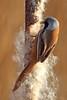 Bearded tit (Ady G.) Tags: reed 1d4 1dmarkiv 500f4 canon tit dorset weymouth radipole beardedreedling beardedtit panurusbiarmicus