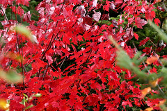 20170110_canada_trees_leaves_778nn9 (isogood) Tags: monttremblant quebec canada laurentides forest indiansummer trees colors fall autumn red yellow leaves
