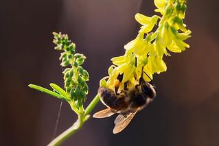 Bee on genisteae - Abeille sur genêt