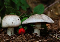 macro mondays -- in between (tdwrsa) Tags: canoneos70d mushroom wildstrawberry thespaceinbetween macromondays