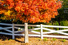 Red Maple White Fence (Jim Dollar) Tags: jimdollar fall redmaple indianland southcarolina sc canon6d trees