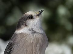 Portrait du Mésangeai du Canada   Forêt Montmorency   Saint-Ferréol-les-Neiges   Québec  [Explore 2017-01-18   4] (sylvain.messier) Tags: mésangeaiducanada greyjay perisoreuscanadensis saintferréollesneigesquébec sylvainmessier canonpowershotsx50hs oiseaubird forêtmontmorency