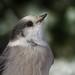 Portrait du Mésangeai du Canada | Forêt Montmorency | Saint-Ferréol-les-Neiges | Québec (sylvain.messier) Tags: mésangeaiducanada greyjay perisoreuscanadensis saintferréollesneigesquébec sylvainmessier canonpowershotsx50hs oiseaubird forêtmontmorency