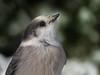 Portrait du Mésangeai du Canada | Forêt Montmorency | Saint-Ferréol-les-Neiges | Québec  [Explore 2017-01-18 | 4] (sylvain.messier) Tags: mésangeaiducanada greyjay perisoreuscanadensis saintferréollesneigesquébec sylvainmessier canonpowershotsx50hs oiseaubird forêtmontmorency