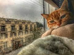 Toronto Ontario Canada ~ Sleepy Cat ~ Burp on window Sill (Onasill ~ Bill Badzo) Tags: toronto ont ontario canada burp cat mew sleepy rain drops window cancer orange rainfall drips condo kelowna bellwoods park onasill