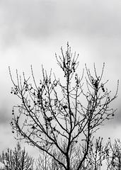 madroño 2/50 (Marián ;)) Tags: arbol nature naturaleza invierno madroño bw blancoynegro virado 50mm