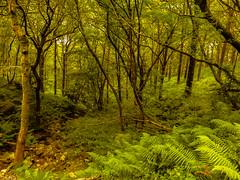 Scottish woodland (dmunro100) Tags: fern scotland westhighlandway trossachs hiking woodland green