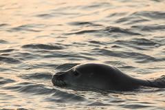 Hawaiian Monk Seal @ Poipu Beach Park (Kosen Ishikawa) Tags: monkseal kauai hawaii poipu