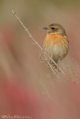 Saltimpalo all'alba (Jokermanssx) Tags: saltimpalo alba dawn sardegna birds stagno molentargius quartuse