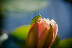 Morning sunshine (gnarlydog) Tags: green frog australia adaptedlens kodaktelephoto152mmf45 cinelens bokeh shallowdepthoffield closeup backlit colorful subjectisolation manualfocus flower lotus