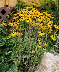 In The Garden (wyojones) Tags: wyoming cody oliveglenngolfcourse garden flowers blooms blackeyedsusan rudbeckia rocks wyojones np