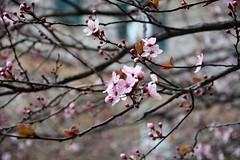 Primavera timida #2 (~Miel) Tags: primavera spring flowers beginner principiante nikond5200 nikon rome roma