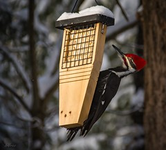 Male Pileated . . . (Dr. Farnsworth) Tags: tree bird pileatedwoodpecker large huge suet owl cabin spruce snow fernridge mi michigan winter march2017