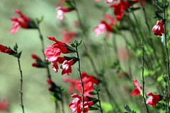Red salvia the cottage dreamscape (tess01b) Tags: flower flowers red naturescenes garden outdoor save earth flora bokeh