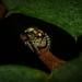 Paraphilaeus
