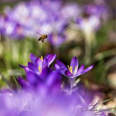 Lente (aNNajé) Tags: lente zweefvlieg stuifmeel krokus