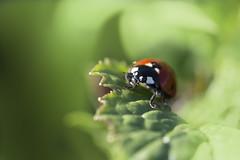 Première coccinelle de printemps (Doriane Boilly Photographie Nature) Tags: coccinelle printemps herbe prairie nature rouge extérieur campagne calme sigma 150 proxi