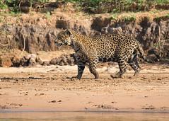Jaguar 2 (TenPinPhil) Tags: brazil nature canon wildlife 100400l philipharris flickrbigcats 5dmarkiii tenpinphil