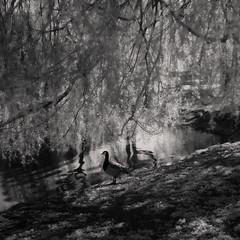 Mirror mirror (c e d e r) Tags: tree pond goose infrared ceder