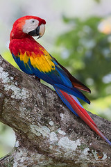Scarlet Macaw / Guacamaya Roja (Panama Birds & Wildlife Photos) Tags: parrot macaw parrots loro guacamaya macaws lapa loros lapas guacamayas